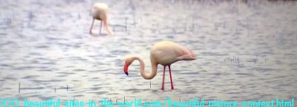 Beautiful Picture Contest: Beautiful Flamingos of Camargue.
