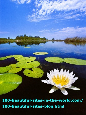 The Beautiful Waterlily of Okavango Delta in Botswana.