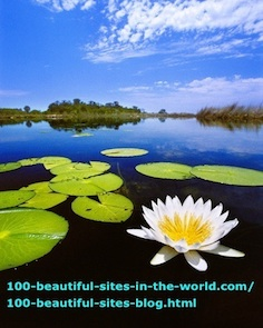 Beautiful Water Lily, Okavango Delta, Botswana.