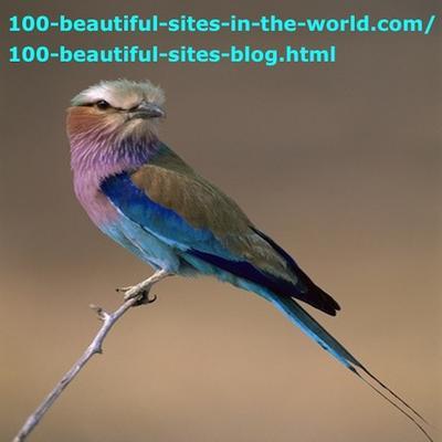 Birds of Okavango Rivers Delta, Lilac Breasted Roller, Coracias Caudata.