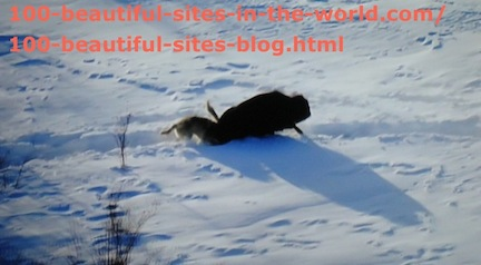 travel photography, snow animal hunting 2