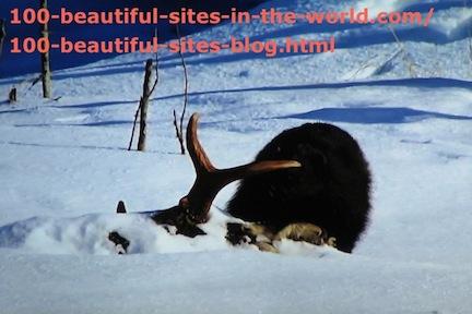 travel photography, snow animal hunting 3