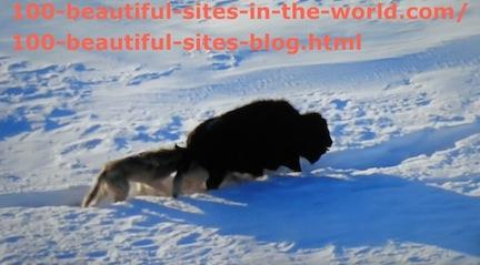 travel photography, snow animal hunting 4