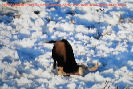 travel photography, snow buffalo fighting wild animal