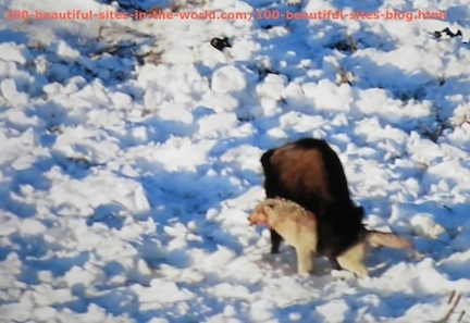 travel photography, snow buffalo fights wild animal