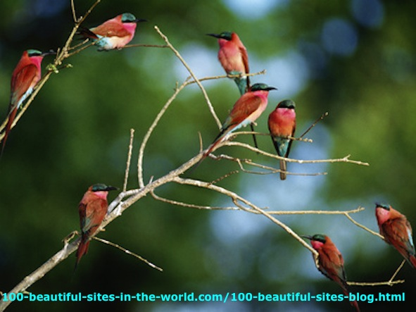 The Southern Carmine Bee Eaters in Okavango Delta in Botswana.