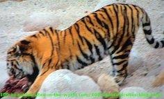 African Leopard Feeding Itself from Hunt.