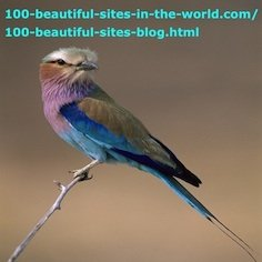 Beautiful Birds, Okavango Delta, Botswana, Lilac Breasted Roller, Coracias Caudata.