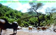 Cattle Herding Across the Omo Valley in East Africa.