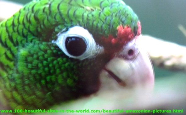 Beautiful Amazonian Pictures: Green Macaw in Amazonia.
