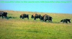 Species of African Buffalo Migrating Feeling the Dry Season.