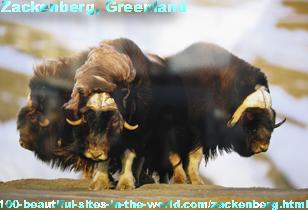 Zackenberg in Greenland, Musk Ox